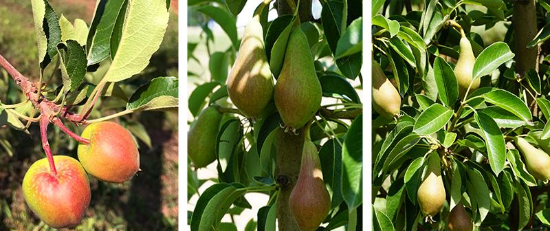 Formiranje plodova